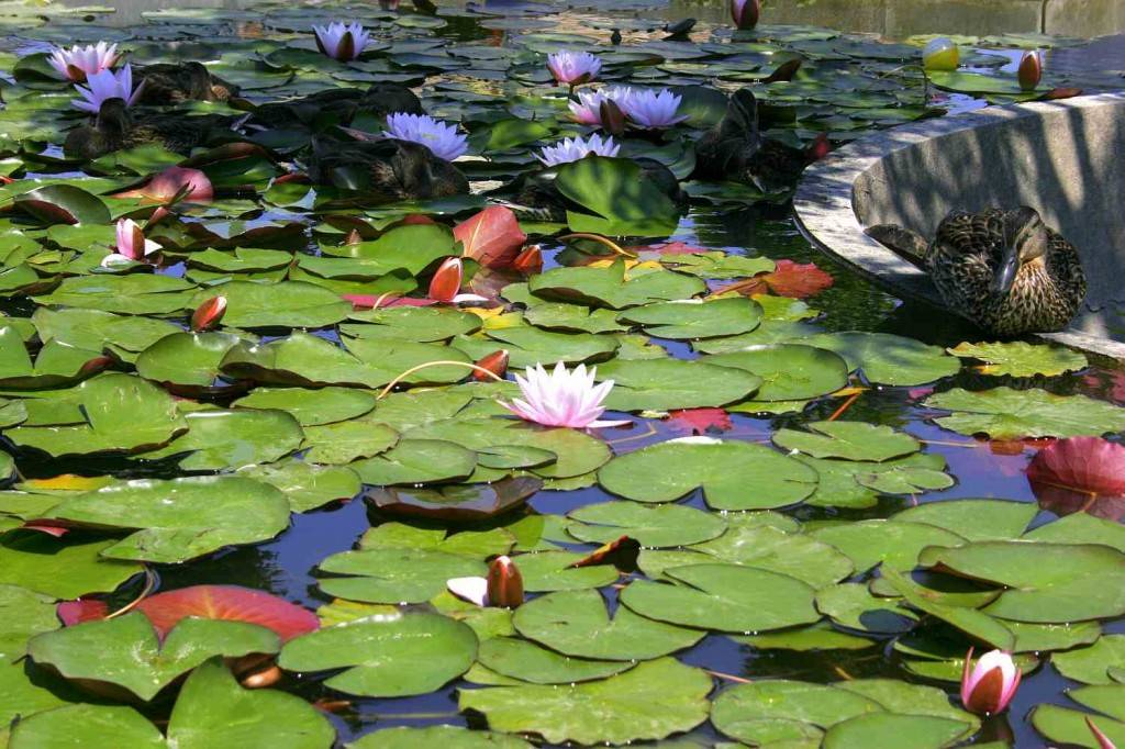 vizililiom / water lilies