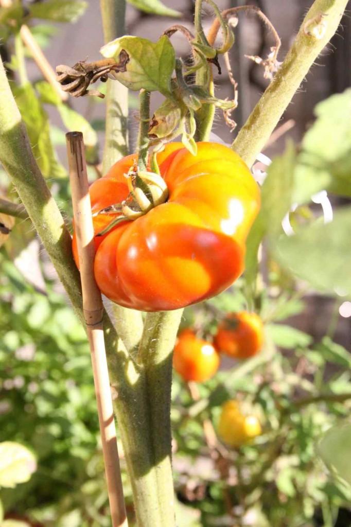 paradicsom / tomato