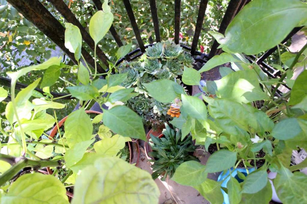 pozsgások / succulents